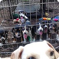 Adopt A Pet :: MADONNA'S SEVEN PUPPIES - Houston, TX