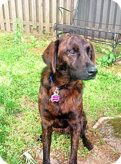 Labrador Retriever/Plott Hound Mix Dog for adoption in Bowie, Maryland - Shiloh