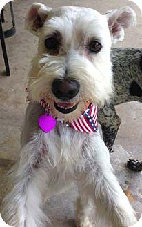 Schnauzer (Standard)/Wheaten Terrier Mix Dog for adoption in Mission Viejo, California - MICKEY
