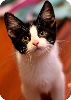 American Shorthair Kitten for adoption in New Orleans, Louisiana - Amelia