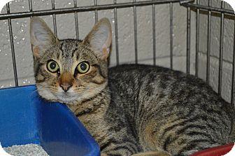 Domestic Shorthair Cat for adoption in Henderson, North Carolina - Briana