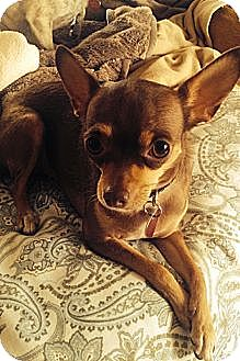 Chihuahua Dog for adoption in Brea, California - Lovey