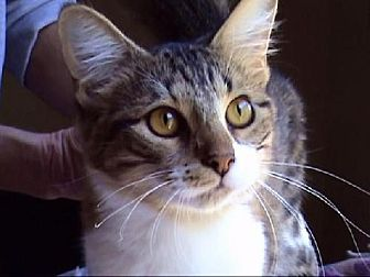 Domestic Mediumhair Cat for adoption in Tyler, Texas - A-Billie Jean