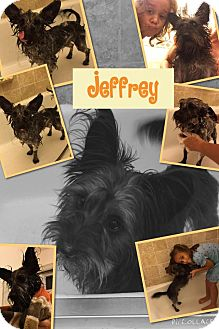 Terrier (Unknown Type, Small) Mix Dog for adoption in Pompano Beach, Florida - Jeffrey