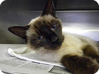 Siamese Cat for adoption in Tyner, North Carolina - Dixie