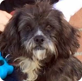 Cairn Terrier/Terrier (Unknown Type, Small) Mix Dog for adoption in Los Angeles, California - SHADOW (video)