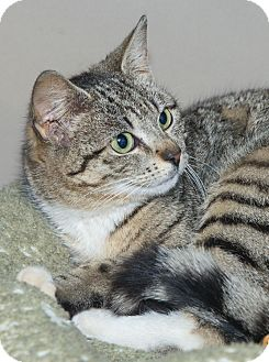 Domestic Shorthair Cat for adoption in Elmwood Park, New Jersey - Erin