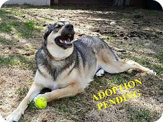 German Shepherd Dog Mix Dog for adoption in Winnipeg, Manitoba - BLOSSOM