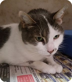 Domestic Shorthair Cat for adoption in North Haven, Connecticut - Jeter