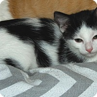 Adopt A Pet :: Blye - The Colony, TX
