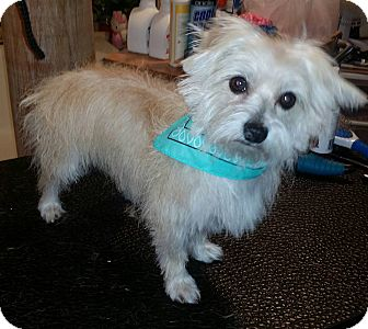 Westie, West Highland White Terrier/Yorkie, Yorkshire Terrier Mix Dog for adoption in FORT WORTH, Texas - Kit