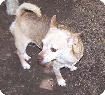 Chihuahua Mix Dog for adoption in Greensboro, Georgia - Tuff