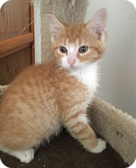 Domestic Shorthair Kitten for adoption in Toledo, Ohio - Clark