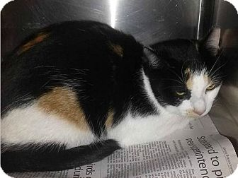 Domestic Shorthair Cat for adoption in Northfield, Ohio - Kali