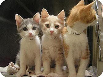 Domestic Longhair Kitten for adoption in DeLand, Florida - Three Musketeers
