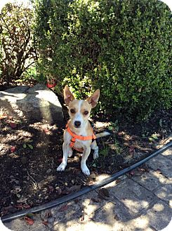 Chihuahua/Jack Russell Terrier Mix Dog for adoption in Mechanicsburg, Ohio - Scruff