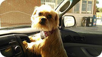 Shih Tzu/Yorkie, Yorkshire Terrier Mix Puppy for adoption in E. Wenatchee, Washington - Buster