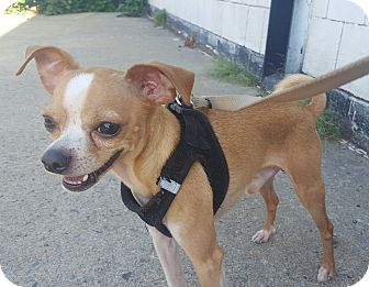 Chihuahua Mix Dog for adoption in Bronx, New York - Peanut