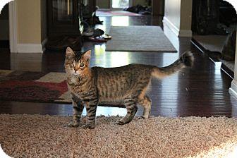 Domestic Mediumhair Cat for adoption in Ortonville, Michigan - Flynn