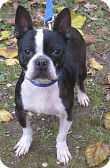 Boston Terrier Mix Dog for adoption in Voorhees, New Jersey - Petrie