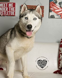 Husky Mix Dog for adoption in Inglewood, California - Conrad