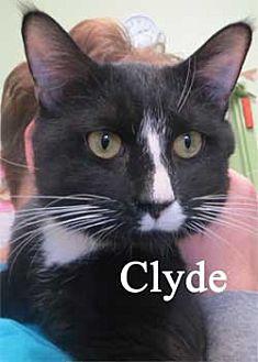 Domestic Shorthair Kitten for adoption in Warren, Pennsylvania - Clyde