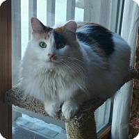 Adopt A Pet :: Long Hair Calico female cat - Manasquan, NJ