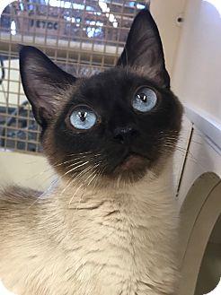 Siamese Cat for adoption in Orland Park, Illinois - Mai Tai
