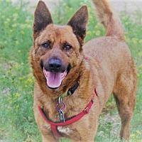 Dutch Shepherd Dog for adoption in Cameron, Missouri - Dutch