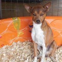 Adopt A Pet :: Vixen - Opelousas, LA
