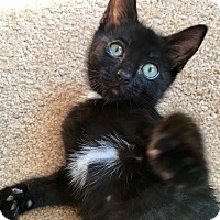 Domestic Shorthair Kitten for adoption in Duluth, Georgia - Licorice