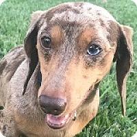 Adopt A Pet :: Divot Dreyers - Houston, TX