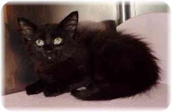 Maine Coon Kitten for adoption in Naples, Florida - Sierra
