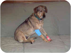 Beagle/Shepherd (Unknown Type) Mix Dog for adoption in Rockville, Maryland - Tuiip