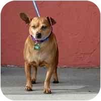 Chihuahua/Miniature Pinscher Mix Dog for adoption in Denver, Colorado - Chocolata