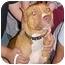 Photo 1 - American Staffordshire Terrier Dog for adoption in New Philadelphia, Ohio - Sadie - Courtesy