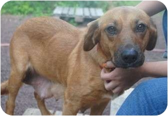 Shepherd (Unknown Type) Mix Dog for adoption in Medford, New Jersey - Shea