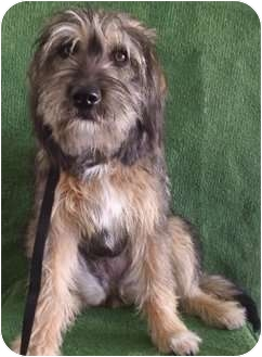 Tibetan Terrier/Schnauzer (Standard) Mix Dog for adoption in El Cajon, California - LADY