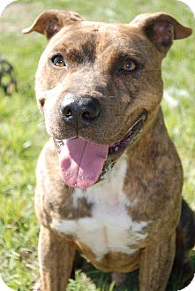 American Pit Bull Terrier/American Staffordshire Terrier Mix Dog for adoption in Huntington, New York - Bryant