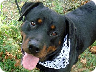 Rottweiler Mix Dog for adoption in Frederick, Pennsylvania - Diamond