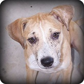 Labrador Retriever/Boxer Mix Puppy for adoption in Weatherford, Texas - Sugar