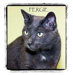 Domestic Shorthair Cat for adoption in Warren, Pennsylvania - Fergie