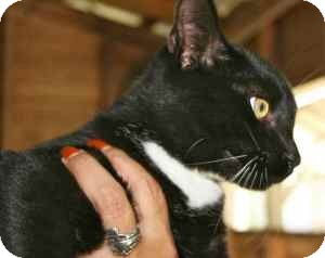 Domestic Shorthair Cat for adoption in Sarasota, Florida - Christine