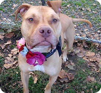 American Staffordshire Terrier/Boxer Mix Dog for adoption in selden, New York - Dulce