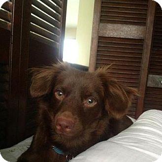 Chesapeake Bay Retriever/Dachshund Mix Dog for adoption in Madison, New Jersey - Sheldon