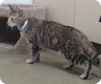 Domestic Shorthair Kitten for adoption in Westminster, California - Chica