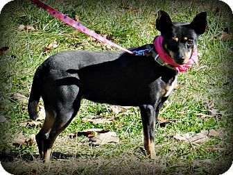 Manchester Terrier/Miniature Pinscher Mix Dog for adoption in Lawrenceburg, Tennessee - Flee