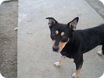 Shepherd (Unknown Type) Mix Dog for adoption in Sacramento, California - Bandit, super sweet