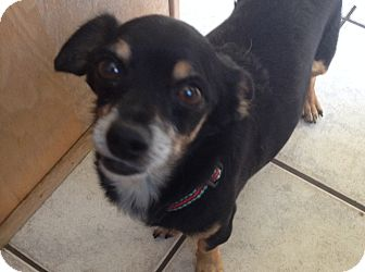Chihuahua/Dachshund Mix Dog for adoption in Fountain Valley, California - Rocky