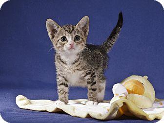 Domestic Shorthair Kitten for adoption in Wayne, New Jersey - Emilee